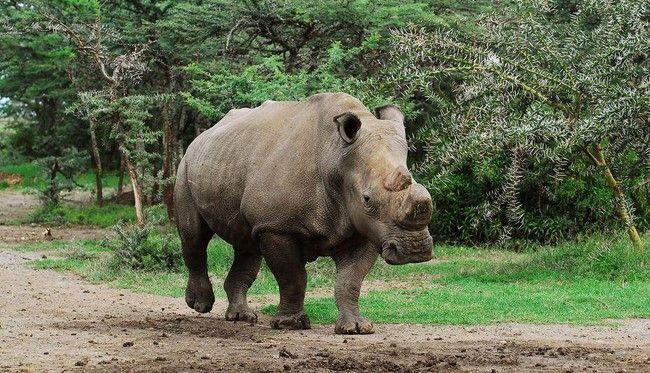 Muere penúltimo rinoceronte blanco macho en el mundo - Foto de NatGeo
