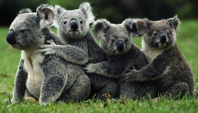 Koalas están extinguiéndose en Australia - Foto de Internet