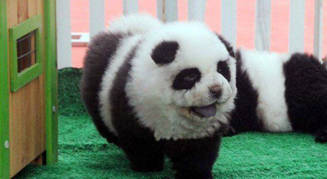 Clausuran un circo por promocionar perros-panda - Foto de EFE