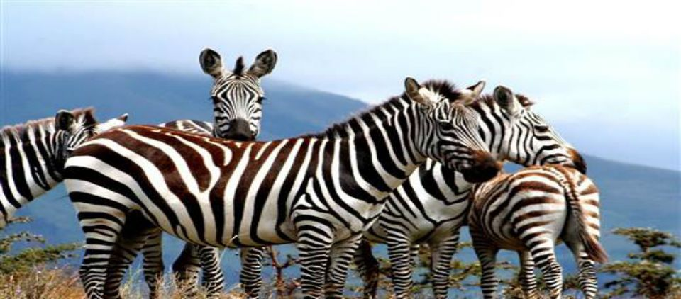 ¿Por qué las cebras son rayadas? - Foto de NBC News