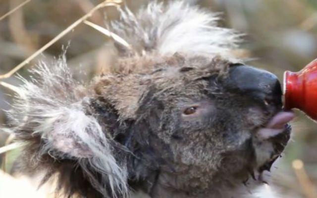 Koala se muestra sediento tras sobrevivir un incendio - Koala sediento de Adelaide Hills