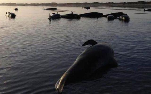 Mueren 140 ballenas varadas en Nueva Zelanda - Mueren 140 ballenas varadas en Nueva Zelanda