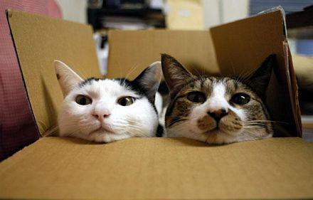 Esterilizar a gatos previene enfermedades infecciosas - ¿Por qué los gatos gustan de las cajas de cartón?