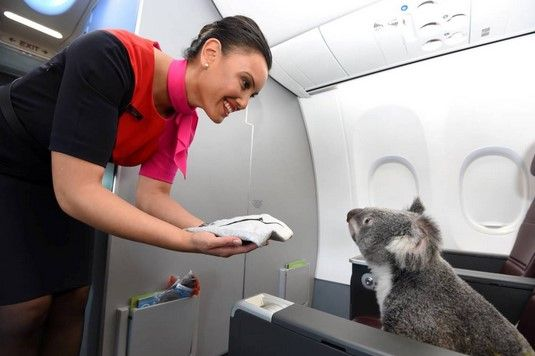 Koalas viajan en avión - Koalas viajan en avión