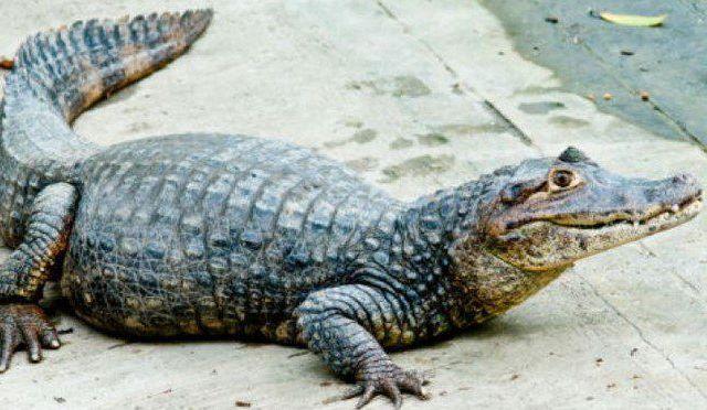 Caimán asesina a presunto delincuente en Florida - Caimán
