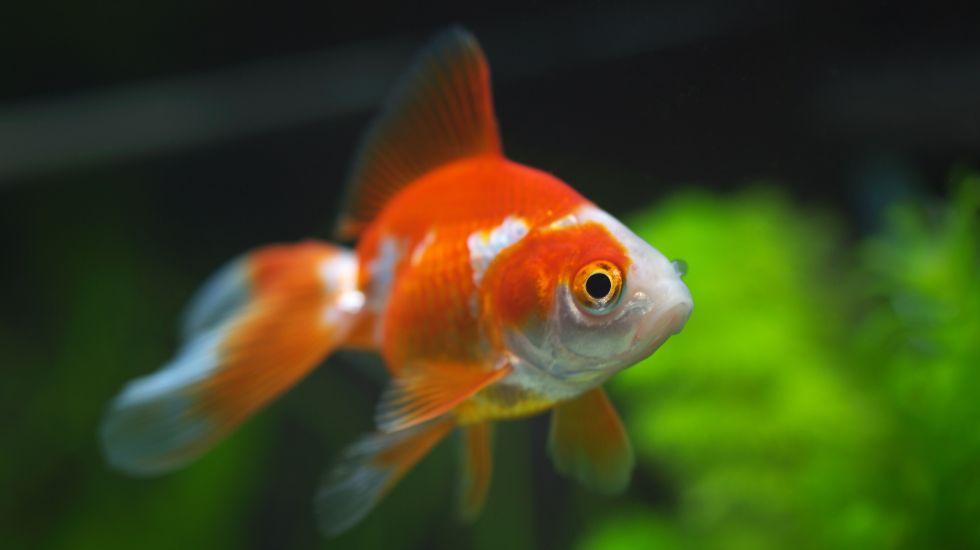 Los peces tienen más capacidad de atención que usuarios de Internet