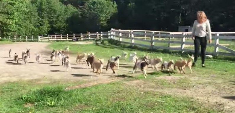 Video: Una estampida de cabras bebé
