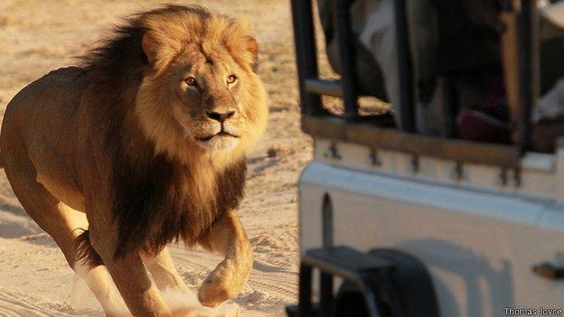 Matan a Jericho, hermano del león Cecil - Foto de Internet