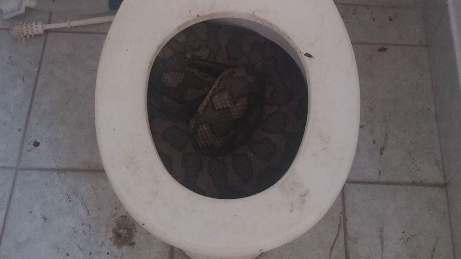 Sacan serpientes de 3 metros de un inodoro - Foto de Mashable