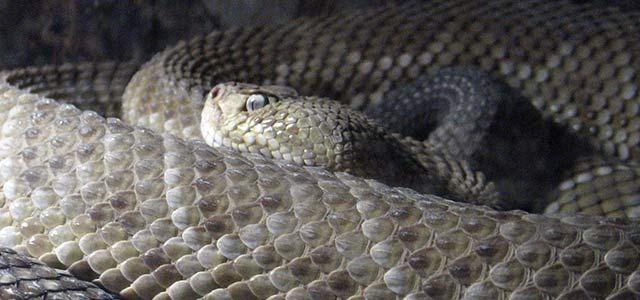 Exhibirán la serpiente más grande del mundo en Querétaro - Foto de Conacyt