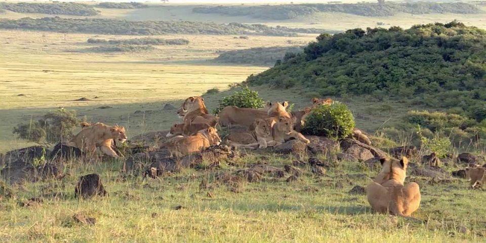 África perdería a la mitad de sus leones en 20 años