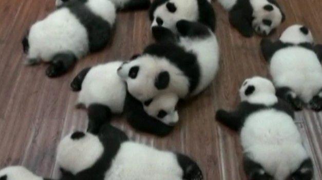 Video: muestran 12 pandas bebés nacidos en China