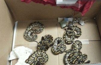 Encuentran 57 serpientes en aeropuerto de Tamaulipas - Foto de CNS