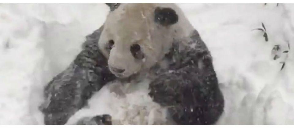 Panda disfruta la nieve en Washington