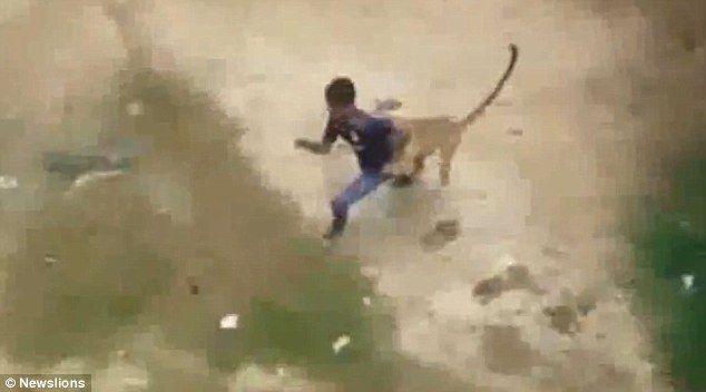 Video: leopardo ataca villa en la India con un saldo de 10 heridos