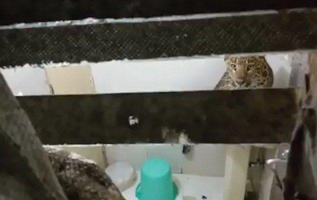 Leopardo invade habitación de hotel