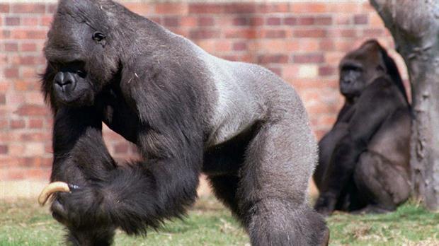 Gorilas al borde de la extinción - Foto de Internet