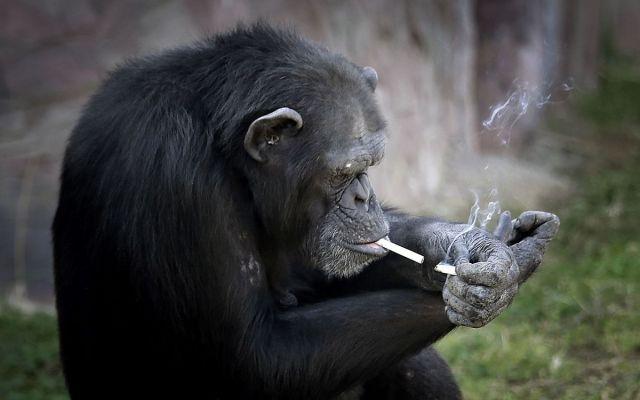 Chimpancé en Corea del Norte fuma una cajetilla de cigarros diaria