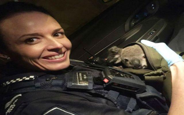 Policía encuentra bebé koala en mochila - Foto de NPR