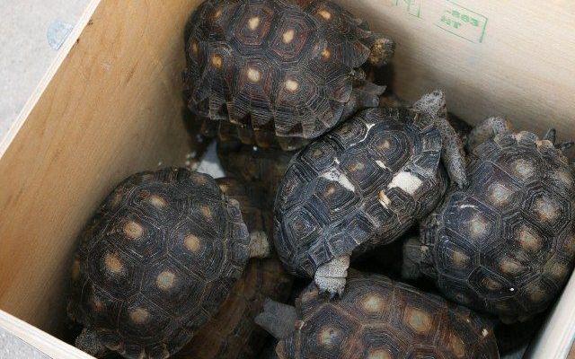 Encuentran once tortugas en paquetería de Yucatán