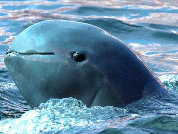 Una vaquita marina. Foto de Ovaciones
