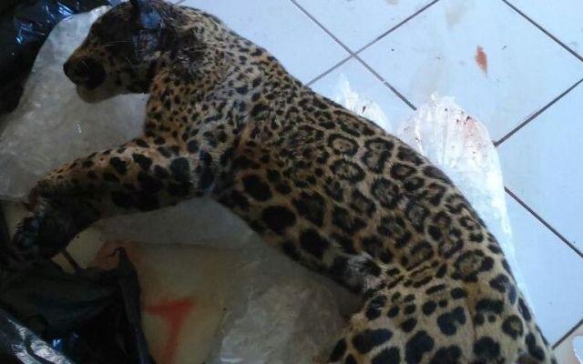 Policías matan ejemplar de jaguar en Jalisco