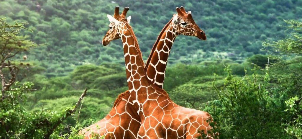 Las jirafas se encuentran a unos pasos de la extinción
