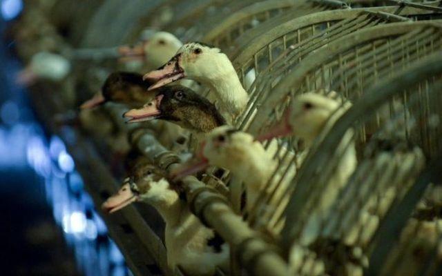 Francia sacrificará 600 mil patos para erradicar gripe aviar - Foto de AFP