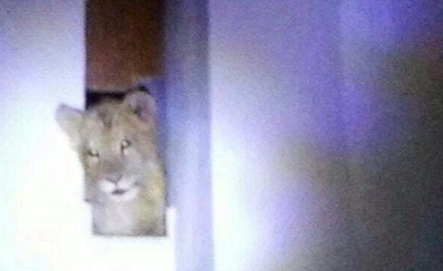 Aparecen dos leones en Jalisco - Foto de Quadratín