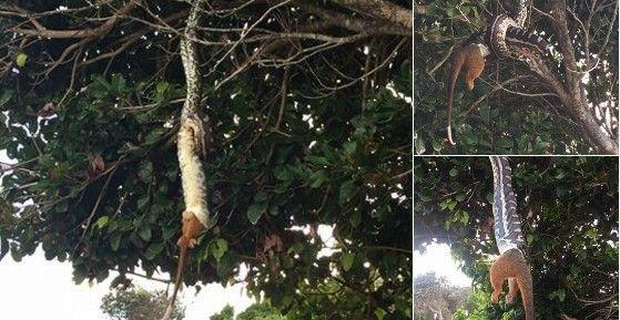 #Viral pitón traga zarigüeya gigante colgada de un árbol