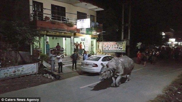 #Viral Rinoceronte recorre calles de Nepal - Foto de Caters News Agency