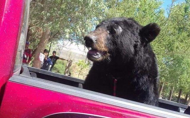 #Video Transportan a oso negro en Durango - Foto de @PROFEPA_Mx