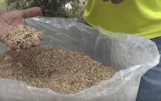 Senasica desmiente supuesto arroz de plástico