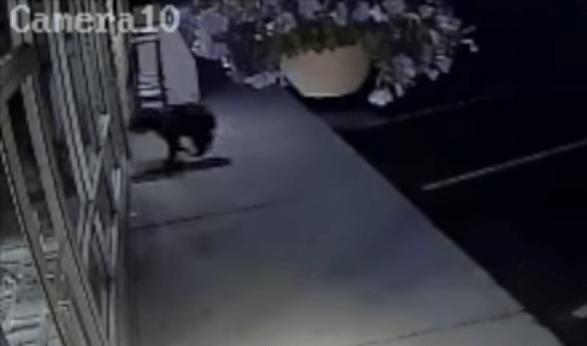 #Viral Oso choca con una puerta de vidrio al intentar entrar a una tienda - Captura de pantalla