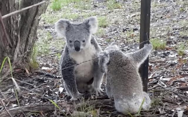 #VIRAL Koala libera a cría que se encontraba atorada en cerca