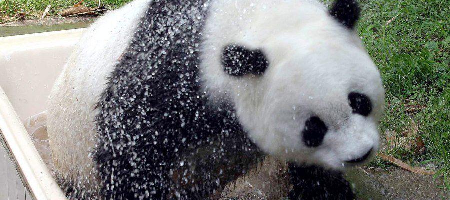 Muere la panda más vieja del mundo