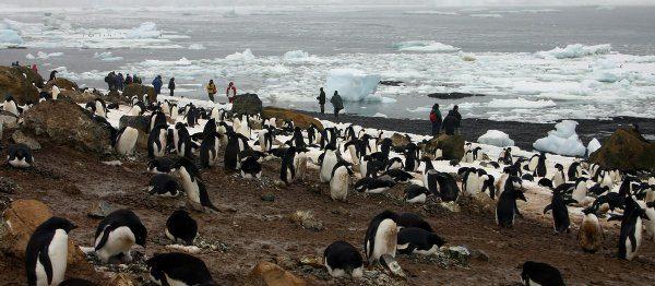 Mueren más de 40 mil crías de pingüinos en la Antártida