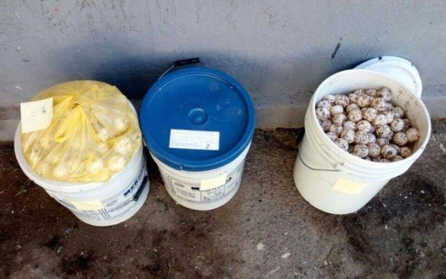 Aseguran más de tres mil huevos de tortuga en Jalisco - Foto de Profepa