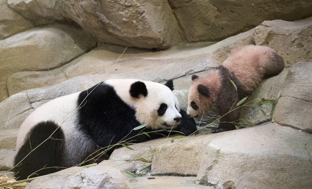Primer panda nacido en Francia hace su presentación pública - Foto de Zoológico de Beauval