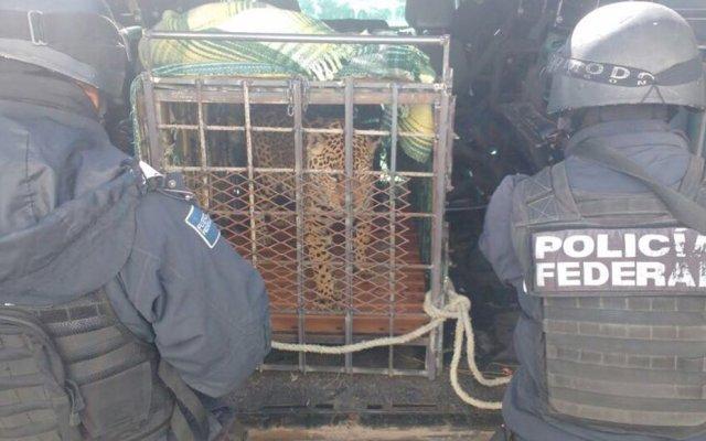 Abandonan jaguar en carretera de Chihuahua - Foto de Quadratín