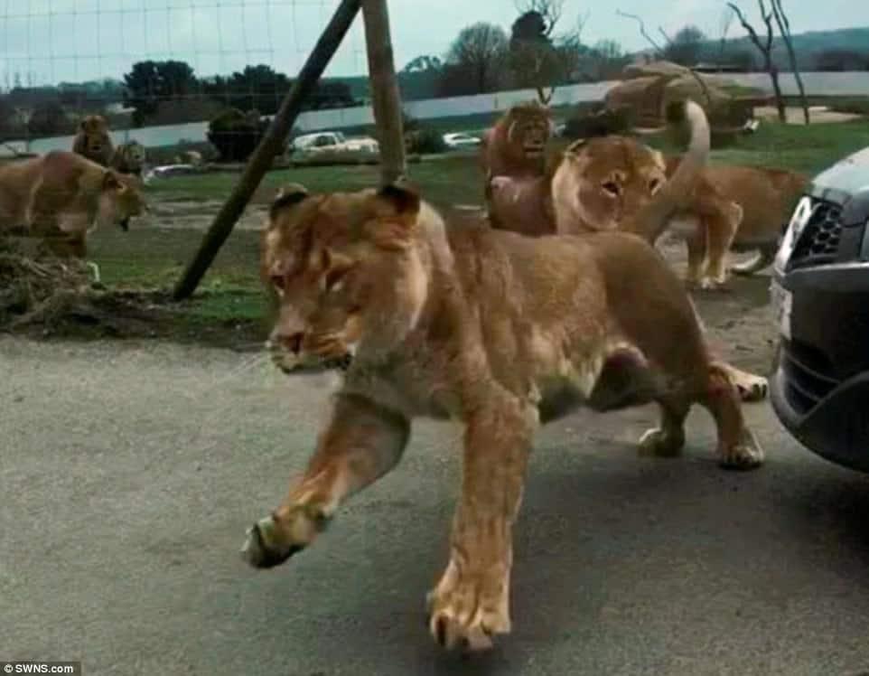 #VIDEO leones atacan a visitantes de safari