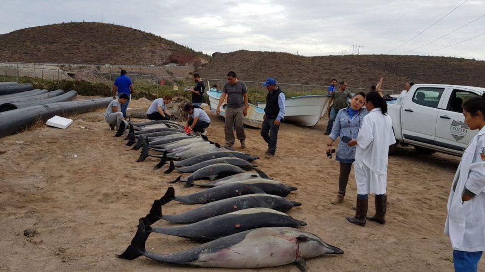 Investigan muerte de delfines varados en La Paz - Foto de @PROFEPA_Mx