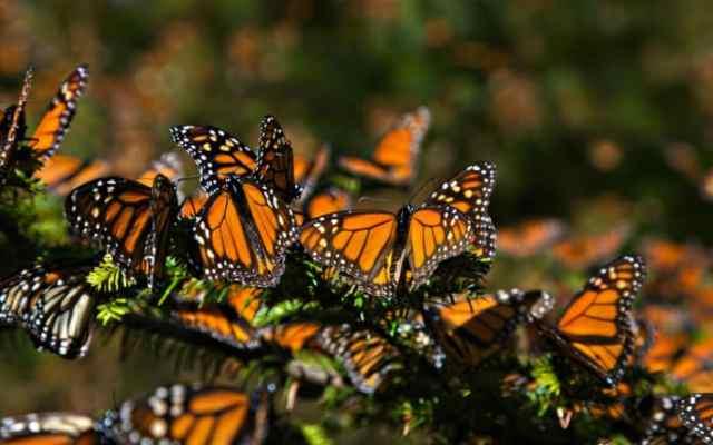 Disminuye población de mariposas monarcas que llegaron a México - Foto: Internet.