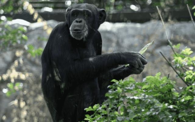 Muere chimpancé Tamba en San Juan de Aragón