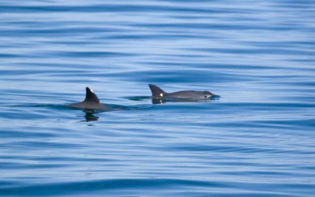 Muere primera vaquita marina en 2018 - Foto de internet