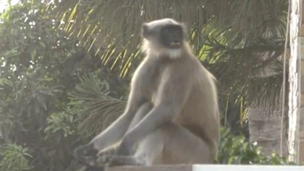 #Video Monos atacan a residentes de villa en la India - Captura de pantalla