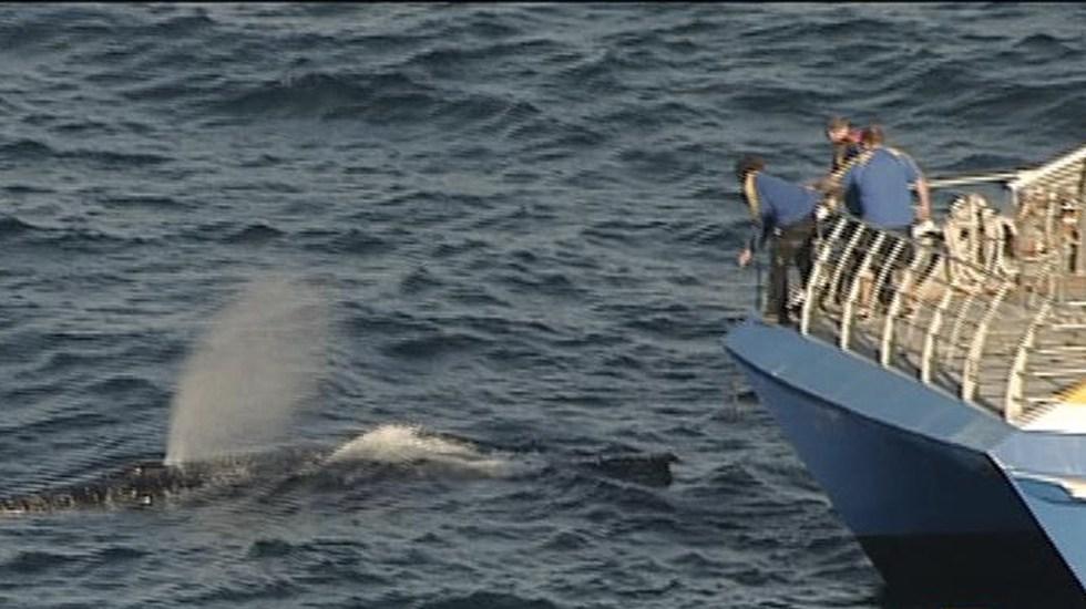 #Video Ballena queda atrapada entre redes de pesca en Sydney - Captura de Pantalla