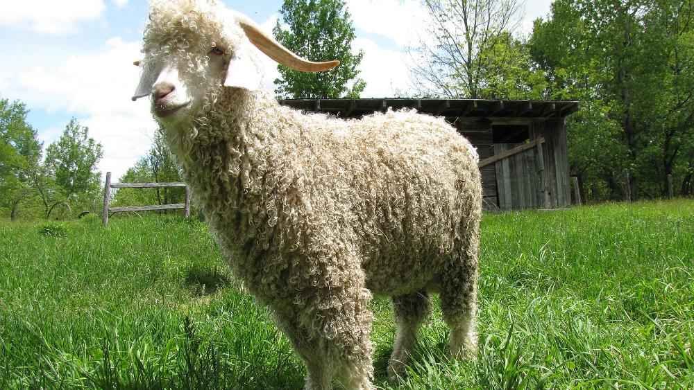 Zara y Gap prohíben uso de lana mohair tras video de PETA - Foto de Wikipedia