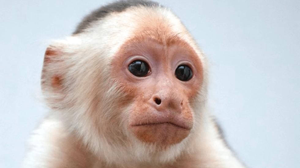 Mono capuchino de Reforma permanecerá en Zoológico de Chapultepec