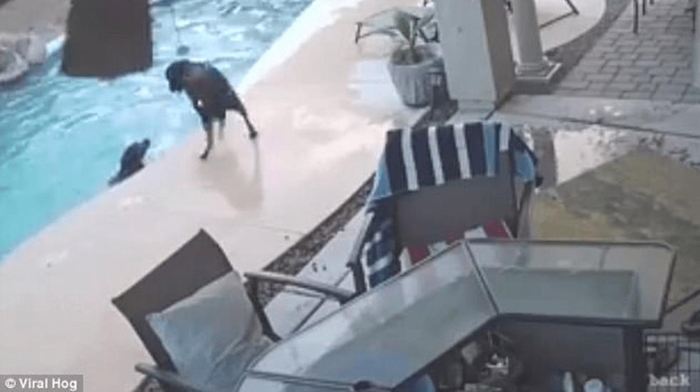 #Video Perro salva a otro can de ahogarse en alberca